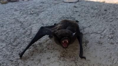 Сонник летучие мыши фото