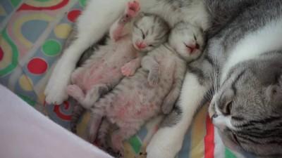 Новорожденные котята с кошкой